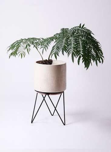 観葉植物 リュウビンタイ 8号 ビトロ エンデカ 鉢カバースタンド付 クリーム 付き
