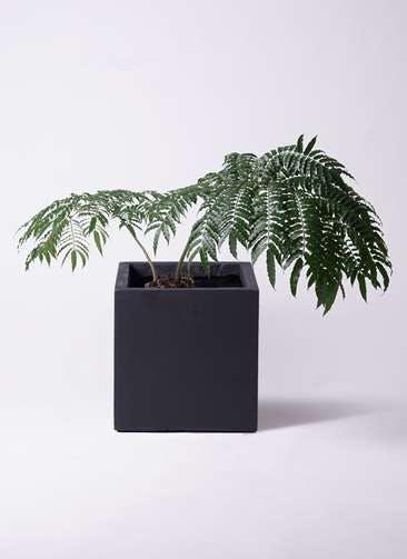 観葉植物 リュウビンタイ 8号 ベータ キューブプランター 黒 付き