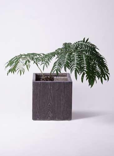 観葉植物 リュウビンタイ 8号 ベータ キューブプランター ウッド 茶 付き
