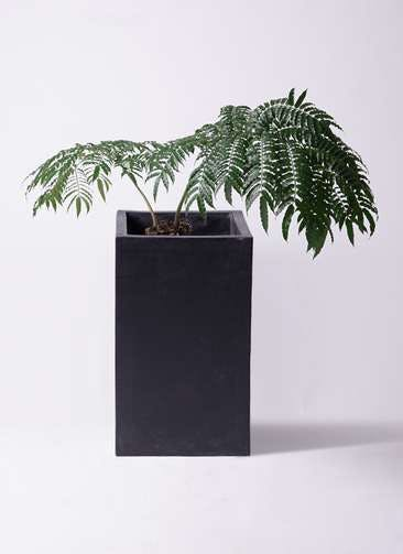 観葉植物 リュウビンタイ 8号 セドナロング 墨 付き