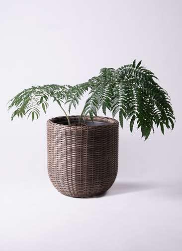 観葉植物 リュウビンタイ 8号 ウィッカーポットエッグ 茶 付き