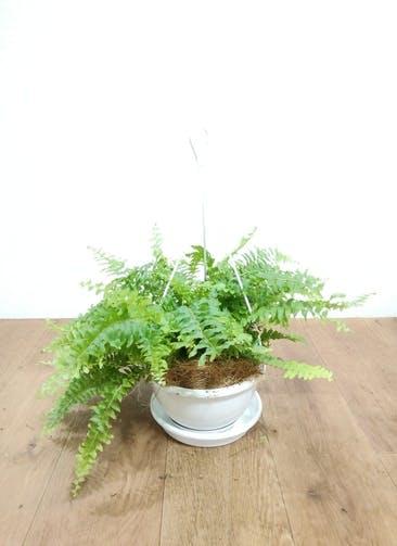 観葉植物 【29cm】 ネフロピレス 6号 #24824