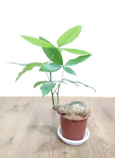 観葉植物 【39cm】 パキラ 4号 #24827