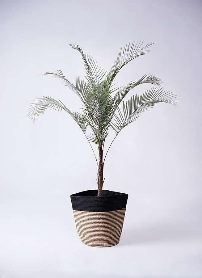 観葉植物 ヒメココス 8号 リブバスケットNatural and Black 付き