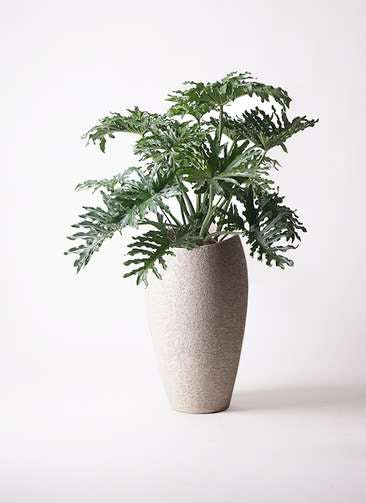 観葉植物 セローム ヒトデカズラ 8号 ボサ造り エコストーントールタイプ Light Gray 付き