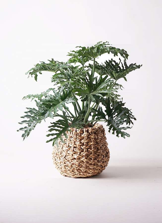 観葉植物 セローム ヒトデカズラ 8号 ボサ造り ラッシュバスケット Natural 付き