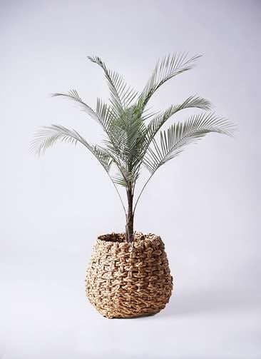 観葉植物 ヒメココス 8号 ラッシュバスケット Natural 付き