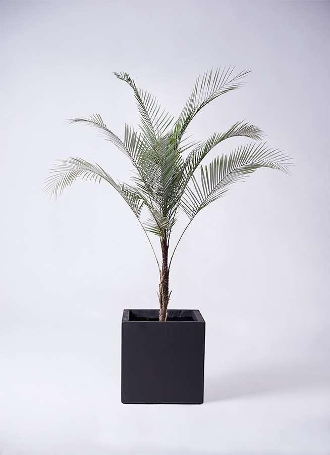 観葉植物 ヒメココス 8号 ベータ キューブプランター 黒 付き