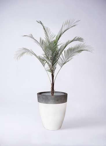 観葉植物 ヒメココス 8号 ファイバーストーンカプリ 白 付き