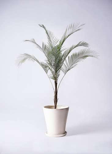 観葉植物 ヒメココス 8号 サブリナ 白 付き