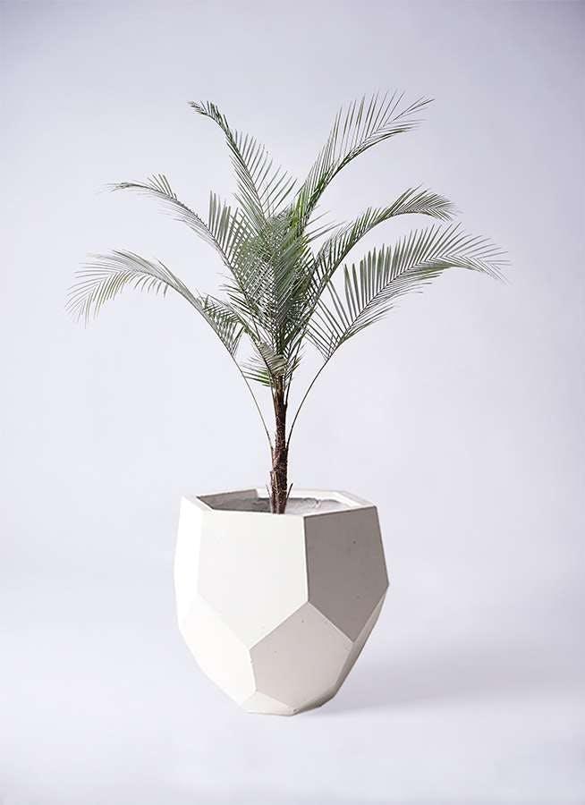 観葉植物 ヒメココス 8号 ポリゴヘクサ 白 付き