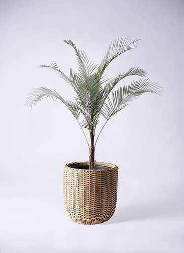 観葉植物 ヒメココス 8号 ウィッカーポットエッグ ベージュ 付き