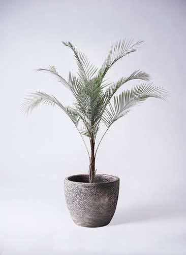 観葉植物 ヒメココス 8号 アビスソニアミドル 灰 付き