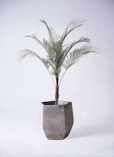 観葉植物 ヒメココス 8号 ファイバークレイ Gray 付き