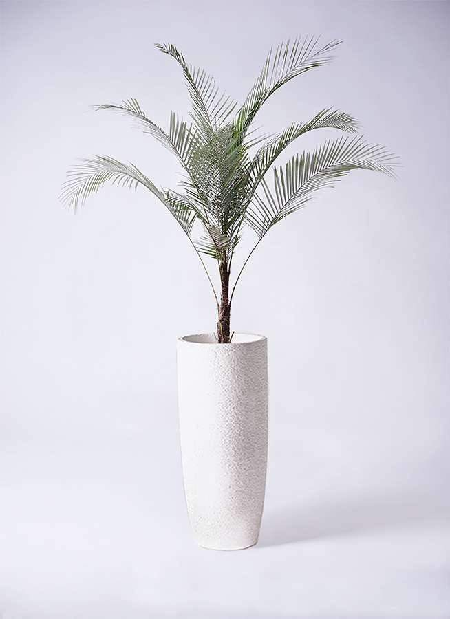 観葉植物 ヒメココス 8号 エコストーントールタイプ white 付き