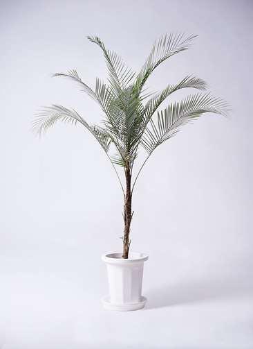 観葉植物 ヒメココス 8号 プラスチック鉢