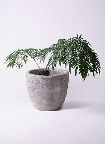 観葉植物 リュウビンタイ 8号 アビスソニアミドル 灰 付き
