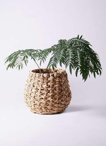観葉植物 リュウビンタイ 8号 ラッシュバスケット Natural 付き
