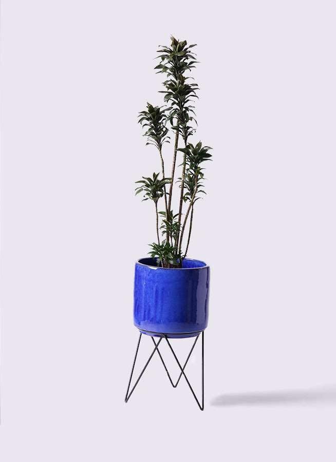 観葉植物 ドラセナ パープルコンパクタ 8号 ビトロ エンデカ ブルー アイアンポットスタンド ブラック 付き