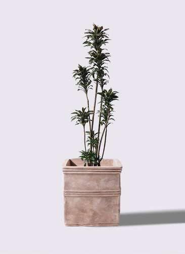 観葉植物 ドラセナ パープルコンパクタ 8号 テラアストラ カペラキュビ 赤茶色 付き