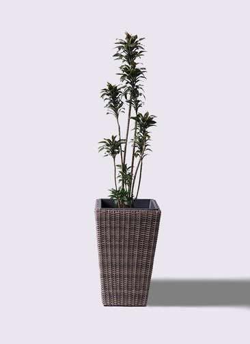 観葉植物 ドラセナ パープルコンパクタ 8号 ウィッカーポット スクエアロング OT 茶 付き
