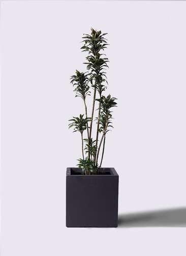 観葉植物 ドラセナ パープルコンパクタ 8号 ベータ キューブプランター 黒 付き