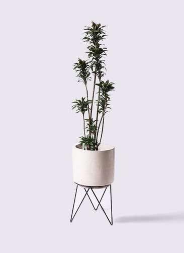 観葉植物 ドラセナ パープルコンパクタ 8号 ビトロ エンデカ クリーム アイアンポットスタンド ブラック 付き