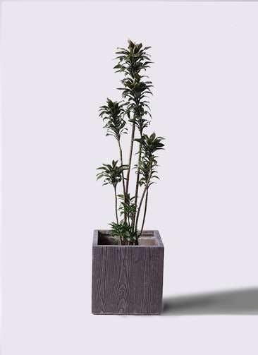 観葉植物 ドラセナ パープルコンパクタ 8号 ベータ キューブプランター ウッド 茶 付き