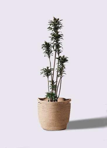 観葉植物 ドラセナ パープルコンパクタ 8号 リブバスケットNatural 付き
