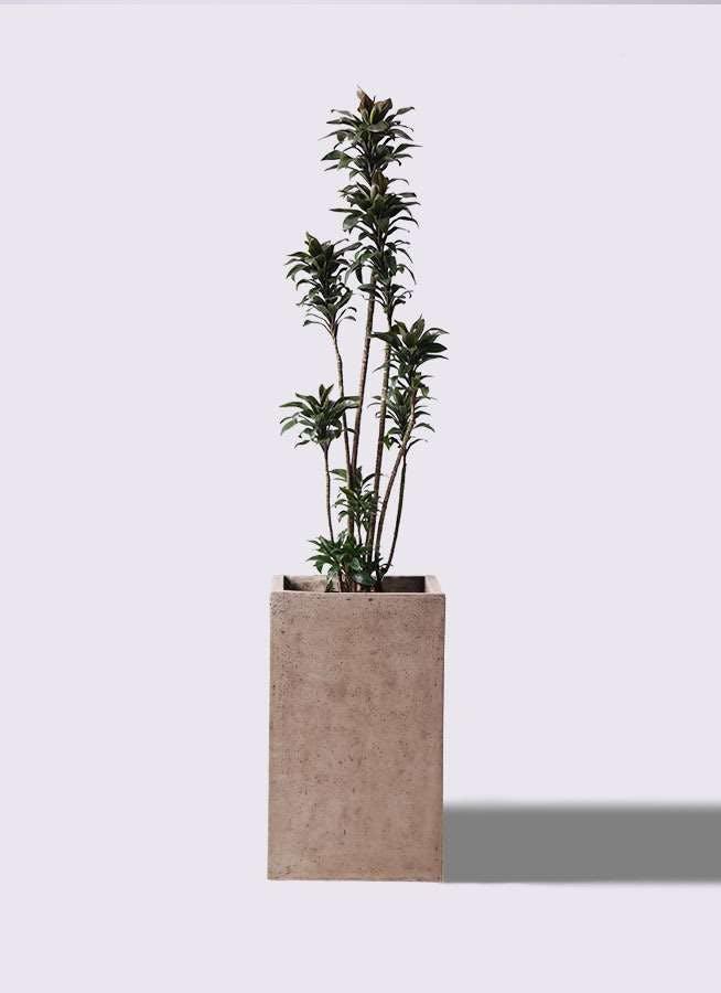 観葉植物 ドラセナ パープルコンパクタ 8号 セドナロング グレイ 付き