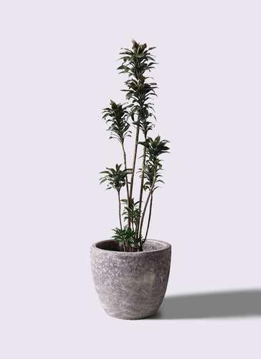 観葉植物 ドラセナ パープルコンパクタ 8号 アビスソニアミドル 灰 付き