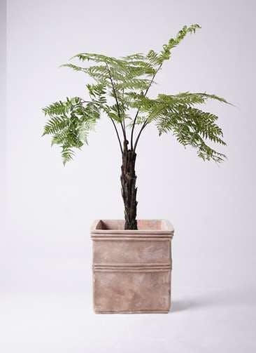 観葉植物 ヘゴ 8号 テラアストラ カペラキュビ 赤茶色 付き