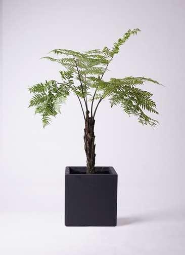 観葉植物 ヘゴ 8号 ベータ キューブプランター 黒 付き