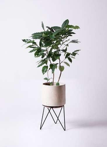 観葉植物 コーヒーの木 8号 ビトロ エンデカ クリーム アイアンポットスタンド ブラック 付き