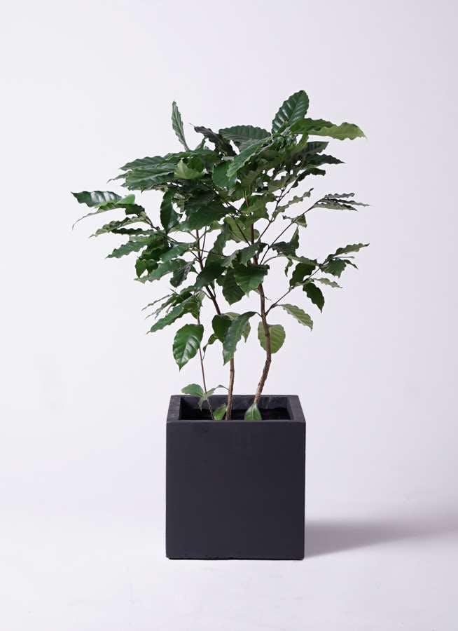 観葉植物 コーヒーの木 8号 ベータ キューブプランター 黒 付き