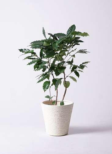 観葉植物 コーヒーの木 8号 ビアスソリッド 白 付き