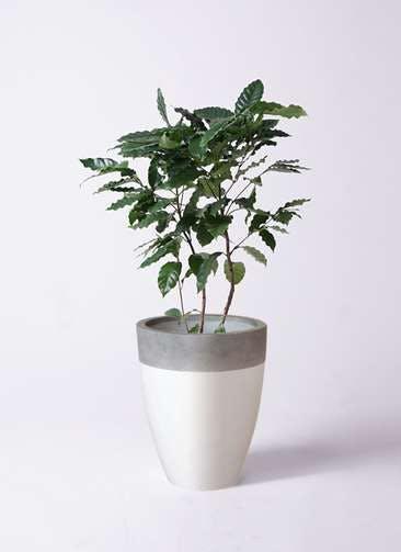 観葉植物 コーヒーの木 8号 ファイバーストーンカプリ 白 付き