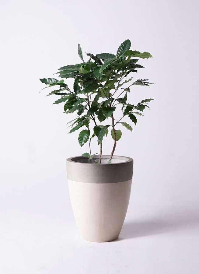 観葉植物 コーヒーの木 8号 ファイバーストーンカプリ サンディホワイト 付き