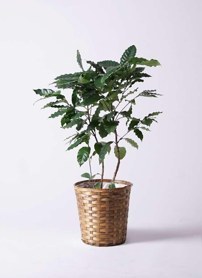 観葉植物 コーヒーの木 8号 竹バスケット 付き