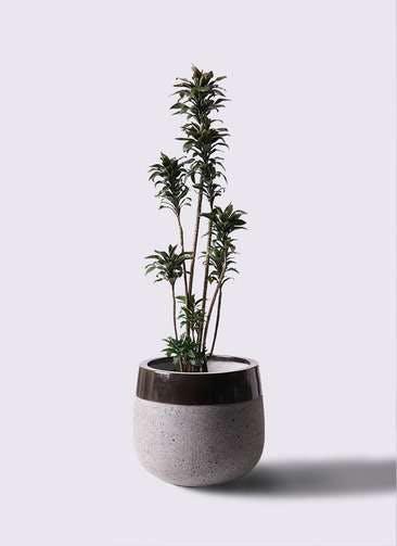観葉植物 ドラセナ パープルコンパクタ 8号 ファイバーストーンタウルス 黒 付き