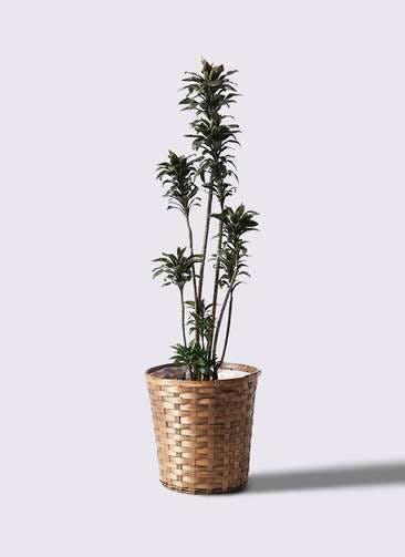 観葉植物 ドラセナ パープルコンパクタ 8号 竹バスケット 付き
