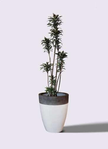 観葉植物 ドラセナ パープルコンパクタ 8号 ファイバーストーンカプリ 白 付き