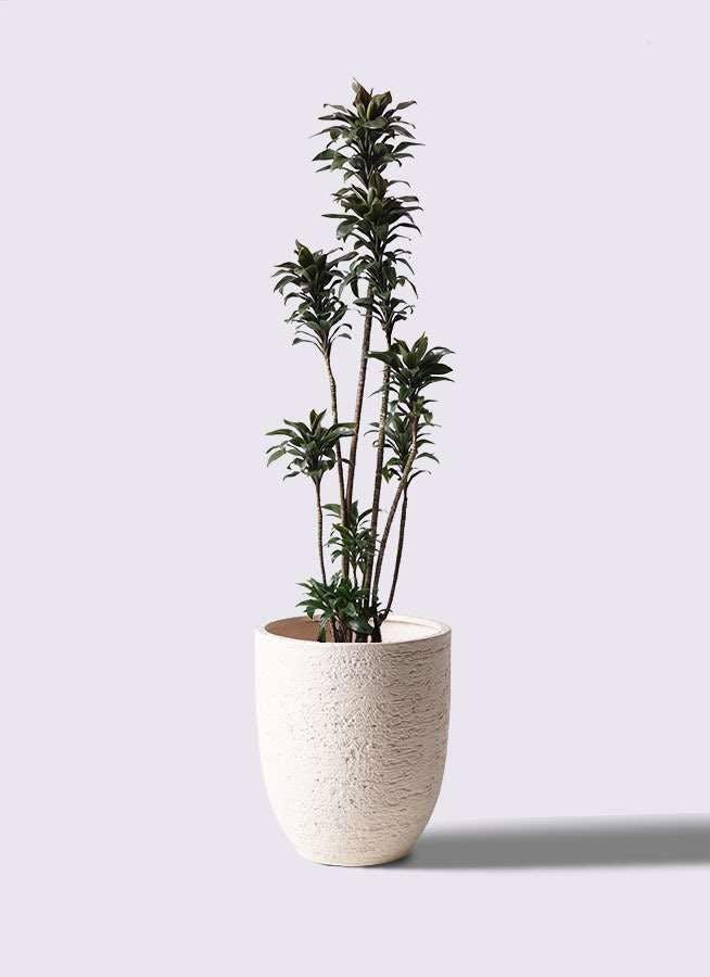 観葉植物 ドラセナ パープルコンパクタ 8号 ビアスアルトエッグ 白 付き