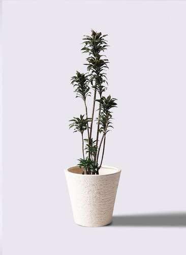 観葉植物 ドラセナ パープルコンパクタ 8号 ビアスソリッド 白 付き
