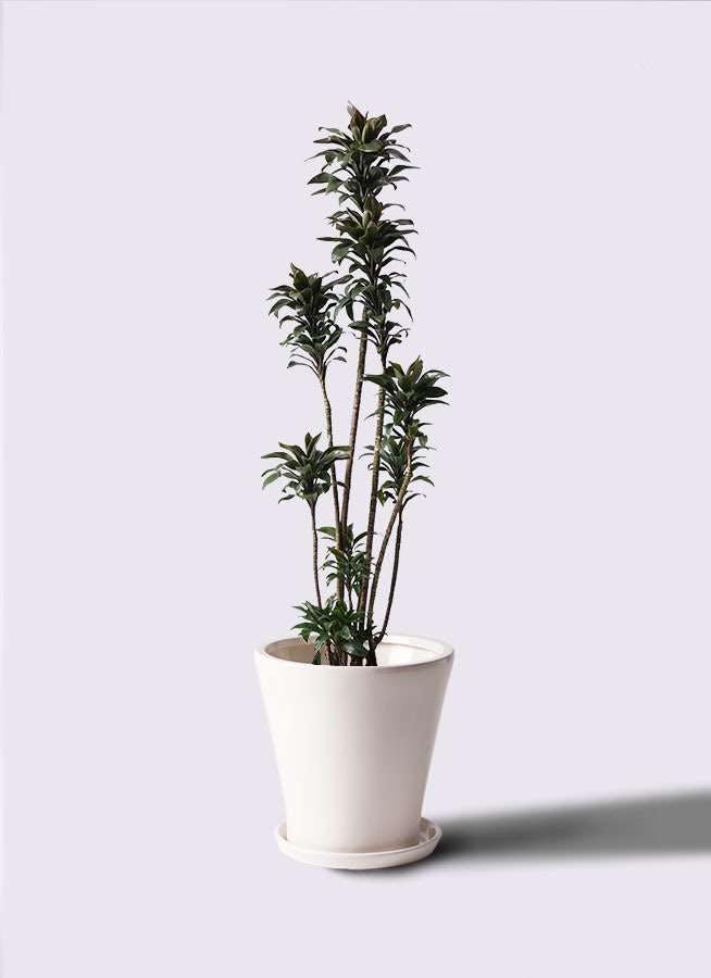 観葉植物 ドラセナ パープルコンパクタ 8号 サブリナ 白 付き