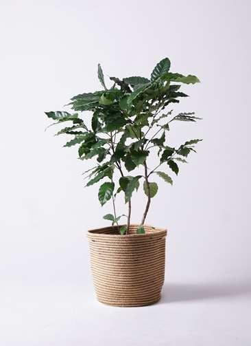観葉植物 コーヒーの木 8号 リブバスケットNatural 付き