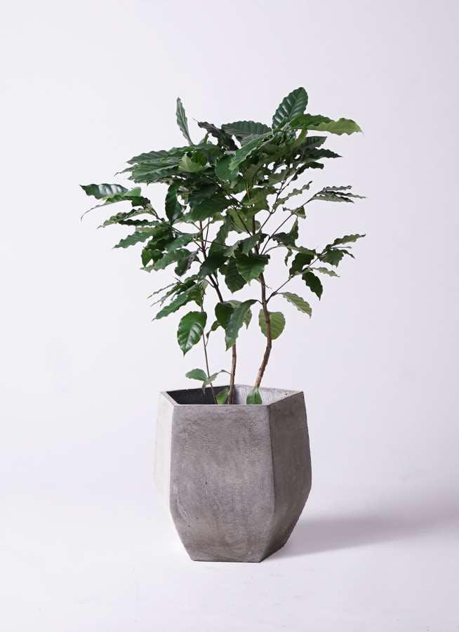 観葉植物 コーヒーの木 8号 ファイバークレイ Gray 付き