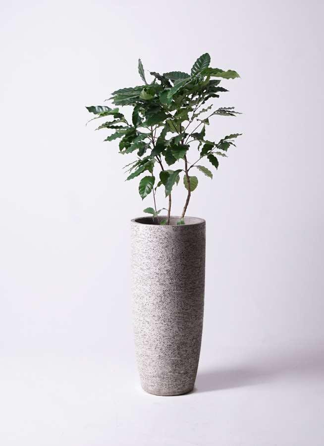 観葉植物 コーヒーの木 8号 エコストーントールタイプ Gray 付き