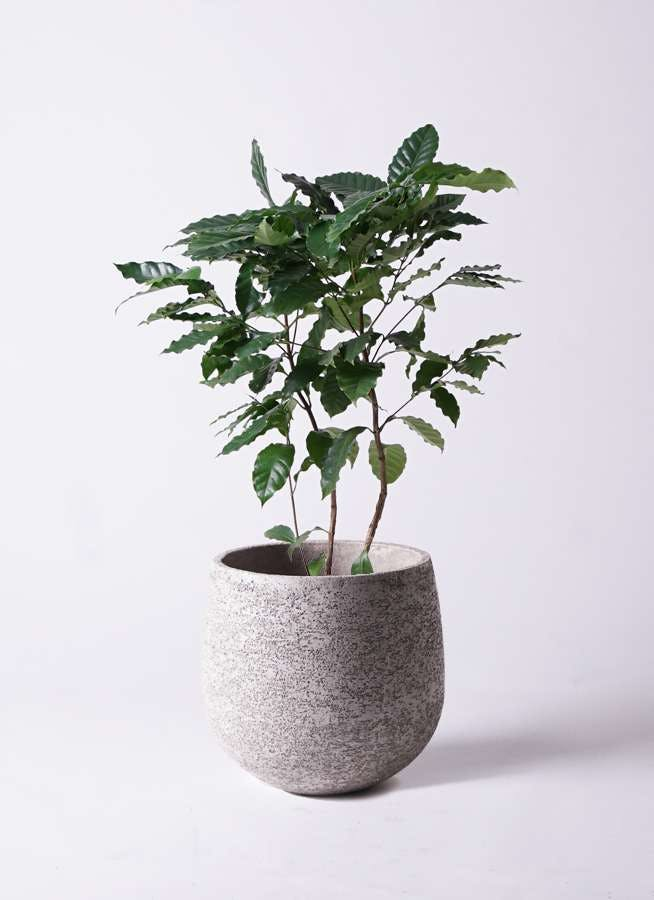 観葉植物 コーヒーの木 8号 エコストーンGray 付き