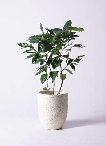 観葉植物 コーヒーの木 8号 ビアスアルトエッグ 白 付き